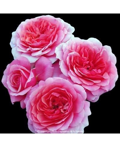 Rose De Bayonne ®