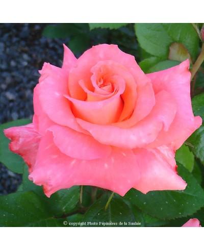 Roseor ®