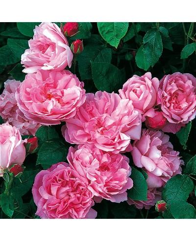 Mary Rose ®