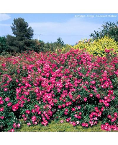 Fuchsia Meillandecor ®
