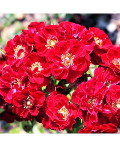 Tapis Rouge ®