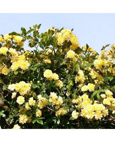 Banksiae Lutea Grimpant ancien