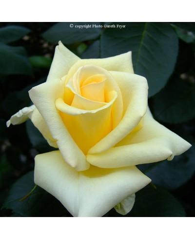 Lemon Beauty ®