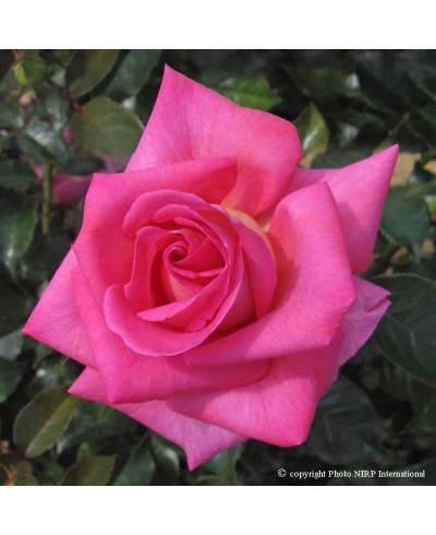 Parfum Royal ®